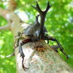 都内でカブトムシを採集して夏休みの自由研究にしよう!餌や採集方法まとめ